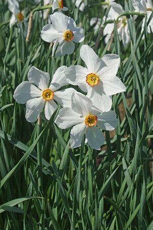 Poet daffodil Actaea (Narcissus poeticus Actaea)