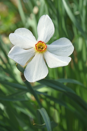 Poet daffodil Actaea (Narcissus poeticus Actaea).  Close up image of single flower