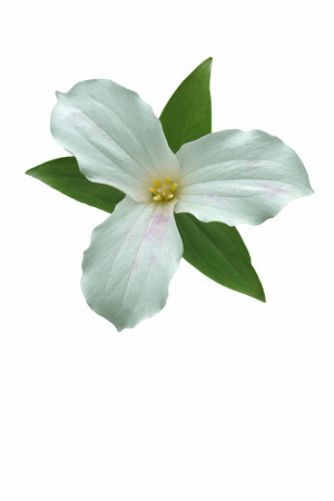 White trillium (Trillium grandiflorum). Called Large-flowered trillium, Great white trillium and Wake-robin also. Image of flower isolated on white background Stock Photo
