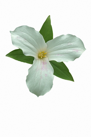 White trillium (Trillium grandiflorum). Called Large-flowered trillium, Great white trillium and Wake-robin also. Image of flower isolated on white background Stock Photo
