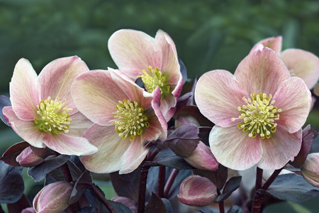 Lenten rose (Helleborus x hybridus)
