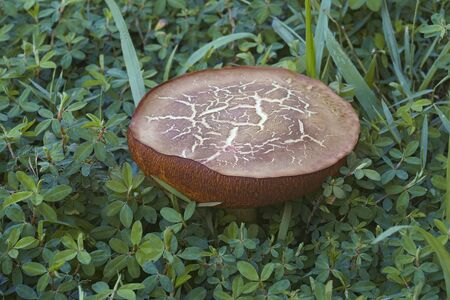 Champignons bolets en daim (Xerocomus subtomentosus). Appelés bolets brun et jaune, bolets bruns ennuyeux et bolets à fissures jaunes. Synonyme: Boletus subtomentosus Banque d'images - 91288867