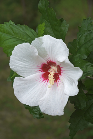 Rose of Sharon (Hibiscus syriacus). Called Syrian ketmia and Rose mallow Stock Photo