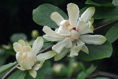 금성 sweetshrub (Calycanthus x 금성). Calycanthus chinensis의 하이브리드 및