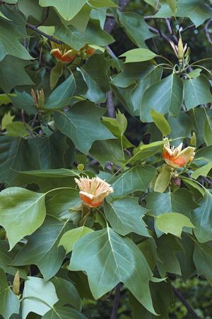 Tulip tree (Liriodendron tulipifera). Called Tuliptree, American Tulip Tree, Tulip Poplar, Yellow Poplar, Whitewood and Fiddle-tree also