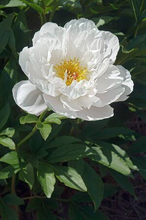 Sorbet peony (Paeonia lactiflora Sorbet) Banco de Imagens - 91210531