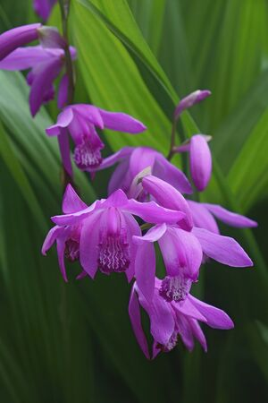 Hyacinth orchid (Bletilla striata). Called Chinese ground orchid also Stock Photo