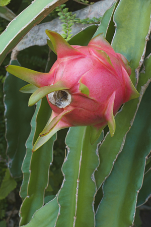 Dragon fruit. Fruit of white-fleshed pitahaya (Hylocereus undatus) Stock Photo