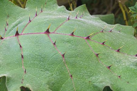 Naranjilla (Solanum quitoense). Called Lulo also