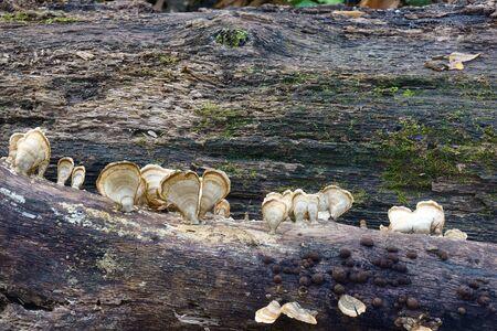 Silky parchement fungus (Stereum striatum)close up