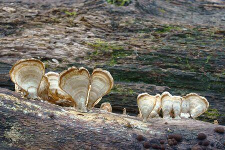 Silky parchement (Stereum striatum). Synonym: Stereum sericeum