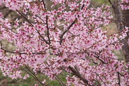 Okame flowering cherry (Prunus x  incam Okame)