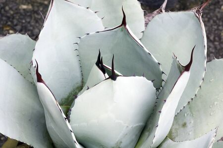 Artichoke agave (Agave parryi var. truncata). Called Mescal agave also