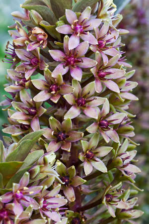 Pineapple lily (Eucomis comosa). Called Pineapple flower and Wine eucomis also