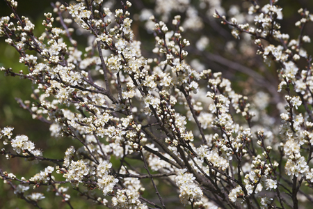 Beach plum (Prunus maritima) Stock Photo