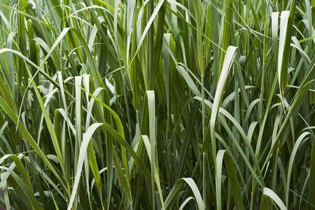 Dallas Blues switch grass (Panicum virgatum Dallas Blues)