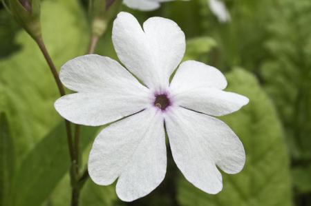 Japanese primrose (Primula sieboldii). Known also as Asiatic primrose and Cortusoides primula. Another scientific name is Primula patens.