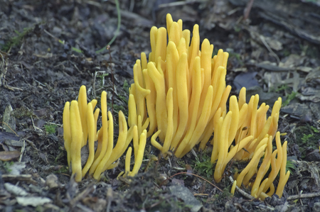 Golden spindles fungus (Clavulinopsis fusiformis). Known also as Spindle-shaped yellow coral and Spindle-shaped fairy club.