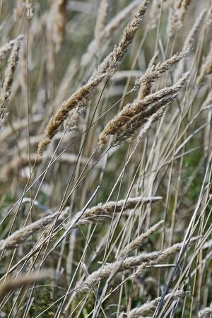 Reedgrass (Calamagrostis extremiorientalis).