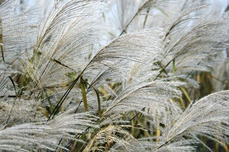 Amur silver grass (Miscanthus sacchariflorus). Known also as Japanese silver grass.