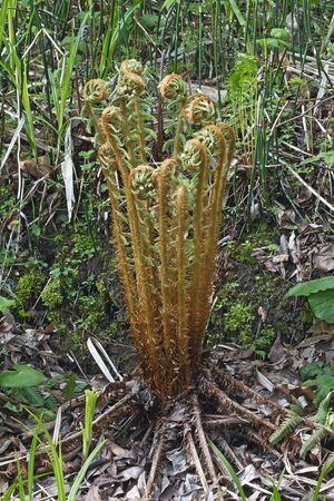 Thick stemmed wood fern (Dryopteris crassirhizoma). Known also as Crown wood fern.