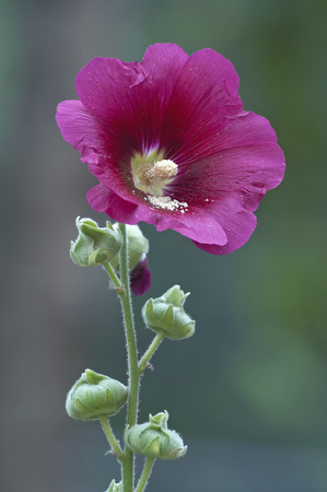 Common hollyhock (Alcea rosea).