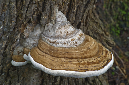 Artist's conk fungus (Ganoderma applanatum). Known also as Artist's bracket and Bear bread. Imagens