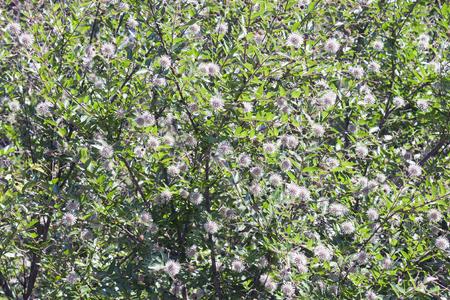 Chinese buttonbush (Adina rubella). Known as Glossy adina also.