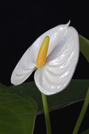 Tailflower (Anthurium andraeanum). Known as Flamingo Flower and Laceleaf also.