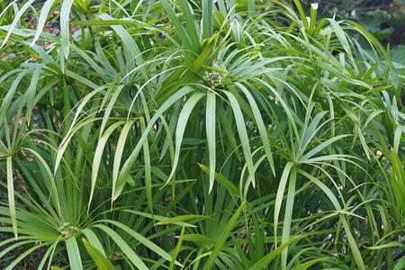 Umbrella plant (Cyperus alternifolius). Called Umbrella palm, Umbrella papyrus and Umbrella sedge also. Another scientific name is Cyperus involucratus. 写真素材