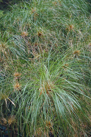 Papyrus (Cyperus papyrus). Called Papyrus sedge, Paper reed, Indian matting plant and Nile grass also.