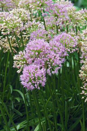 Millenium Ornamental Onion (Allium x Millenium). Called Millenium Flowering Onion also. Hybrid variety of Allium nutans.