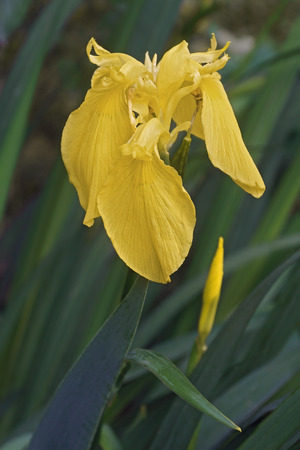 Yellow flag iris (Iris pseudacorus). Called Yellow iris, Water flag, Paleyellow iris and Lever also.