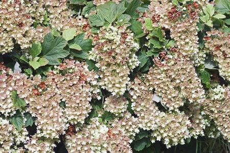 Snowflake oakleaf hydrangea (Hydrangea quercifolia Snowflake).