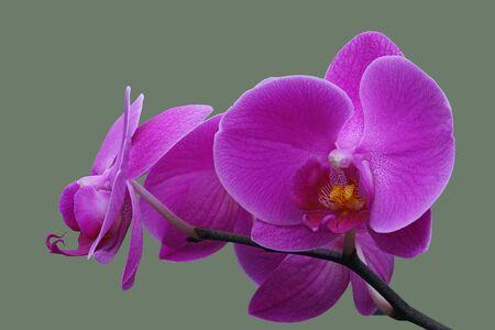 Moth orchid (Phalaenopsis x hybridus). Imagens