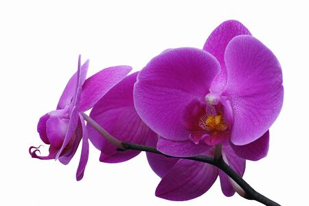 Moth orchid (Phalaenopsis x hybridus). Image of flowers isolated on white background