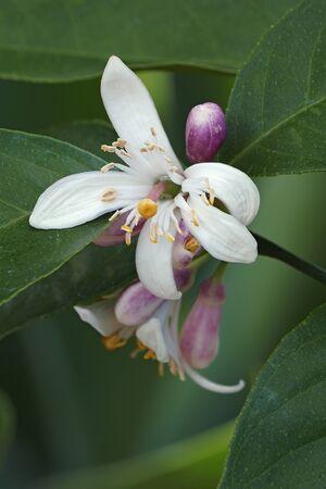 Meyer lemon (Citrus x meyeri). Hybrid between Citrus medica and Citrus reticulata.
