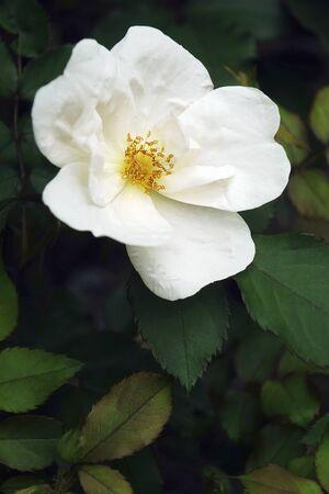 Memorial rose (Rosa wichuraiana). Another scientific name is Rosa luciae.