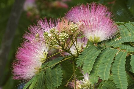 Silktree (Albizia julibrissin). Known as Mimosa, Persian Acacia, Persian Silk Tree, Pink Silk Tree, Lenkoran acacia and Bastard tamarind.