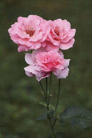 Hybrid rose (Rosa x) Imagens