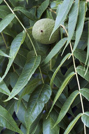 Eastern black walnut (Juglans nigra).