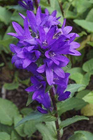 Clustered bellflower (Campanula glomerata). Called Dane's blood also Stock Photo
