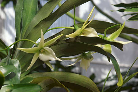 Comet orchid (Angraecum Alabaster). Called Angrek also. Hybrid between Angraecum eburneum and Angraecum Veitchii