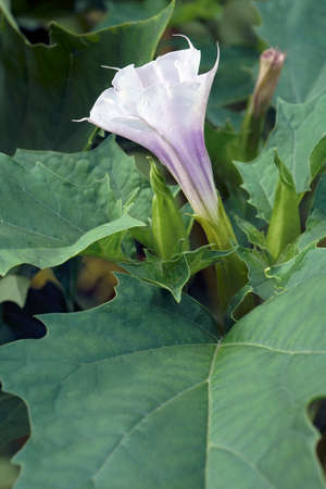 Jimsonweed (Datura stramonium). Called Devil's snare, Hell's bells, Devil's weed, Tolguacha, Jamestown weed, Pricklyburr, Devil's cucumber and Thornapple also