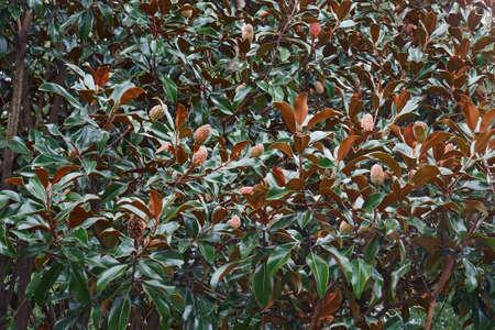Southern magnolia (Magnolia grandiflora). Called Evegreen Magnolia, Bull Bay, Bullbay Magnolia, Laurel Magnolia and Loblolly Magnolia also. State tree of Mississipi and state flower of Louisiana