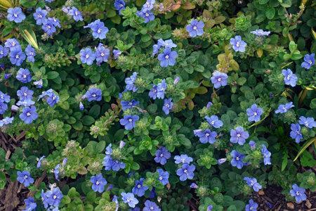 Dwarf morning glory (Evolvulus glomeratus). Called Blue daze, Brazilian Dwarf Morning glory also 스톡 콘텐츠