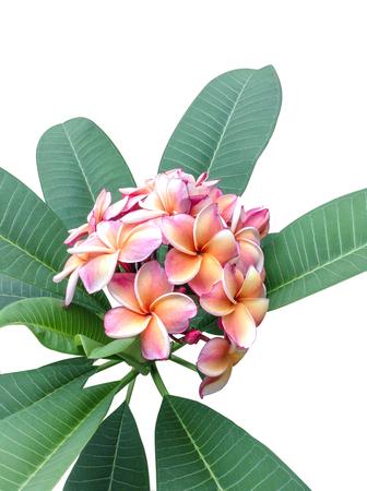 Frangipani flower or Leelawadee flower on the tree, isolated, white background