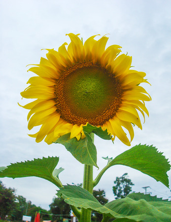 small field: Sunflower and sky are small field hill tribe, thailand Stock Photo