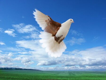 White-brown pigeon flying over green field and forest photo