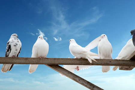 homegrown: home-grown doves - white and brown - on the sky background with copy space Stock Photo